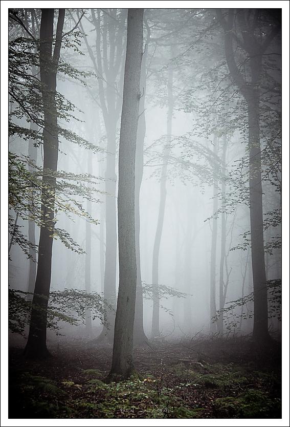 Brouillard et forêt domaniale de Roumare